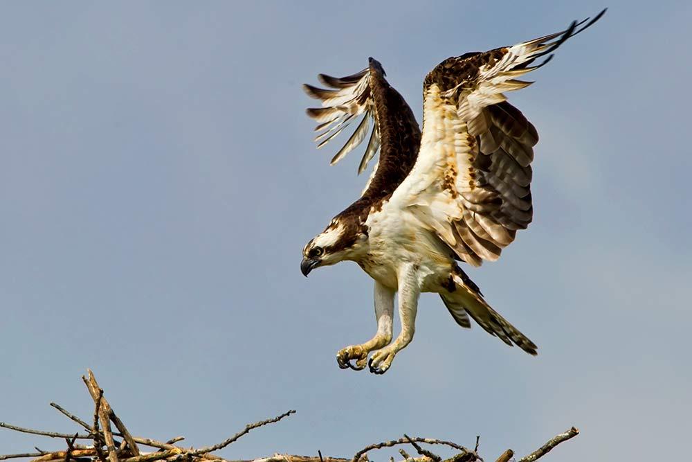 Osprey Drops In