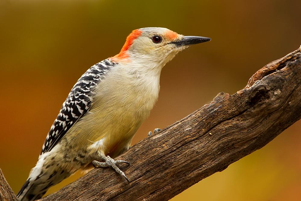 Red Bellied Woodpecker in Fall