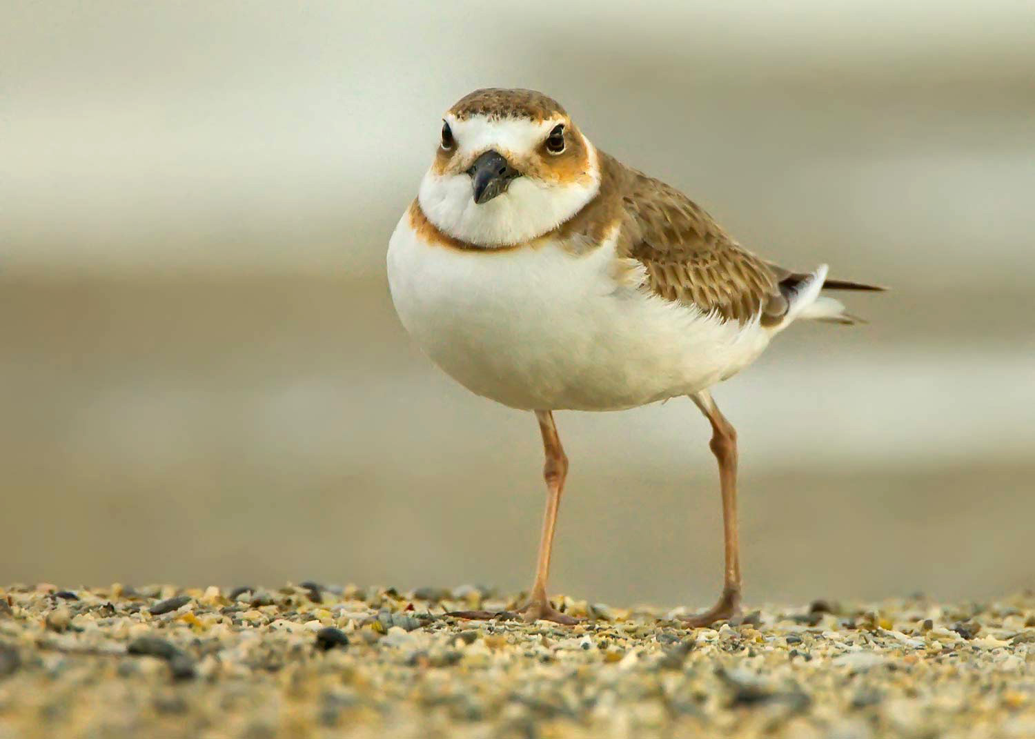 semipalmated-plover-web