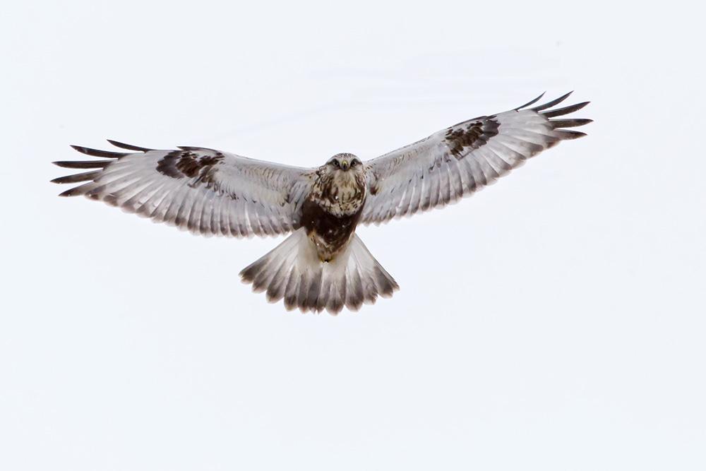 snowy day rough legged hawk web