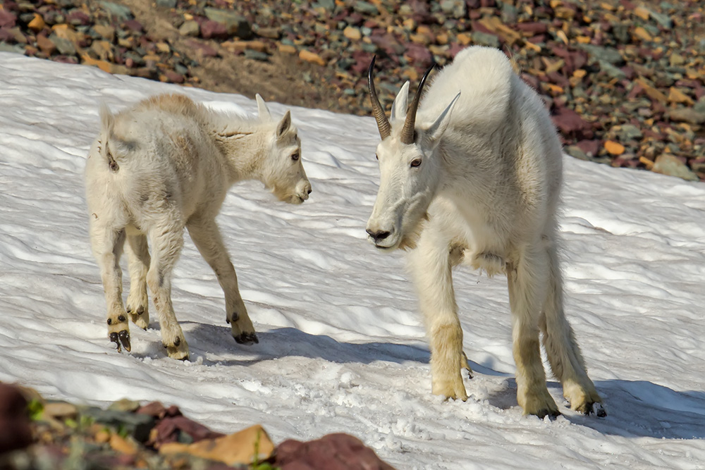 Mountain Goats Cooling Off