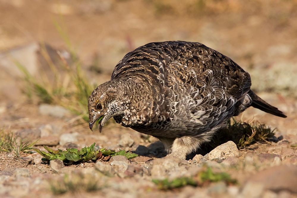 spruce grouse hen eats a plant web