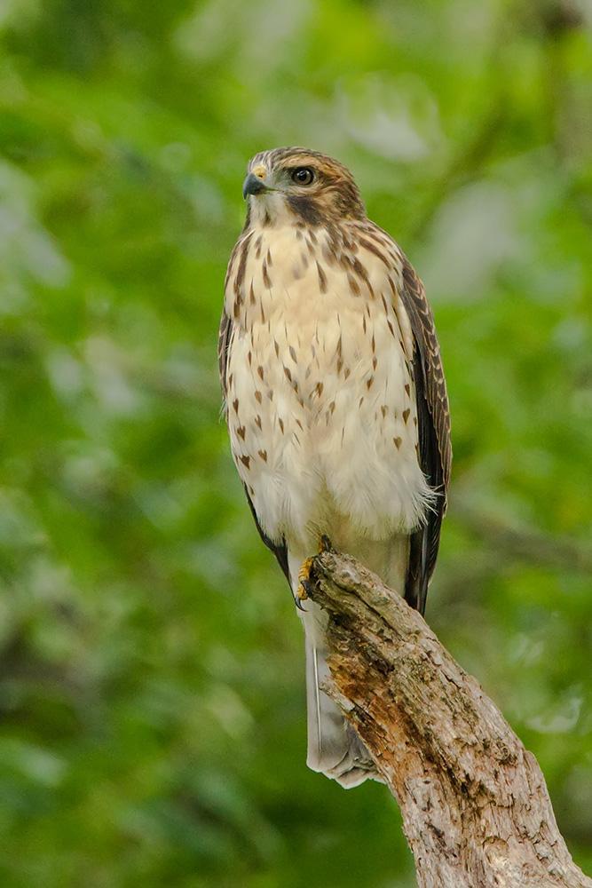 backyard boradwing hawk web