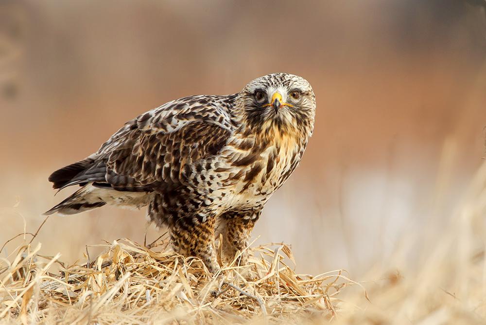 Rough Legged Hawk on Prey