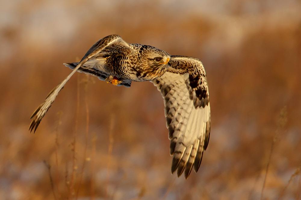 Rough Legged Hawk Sundown Hunter