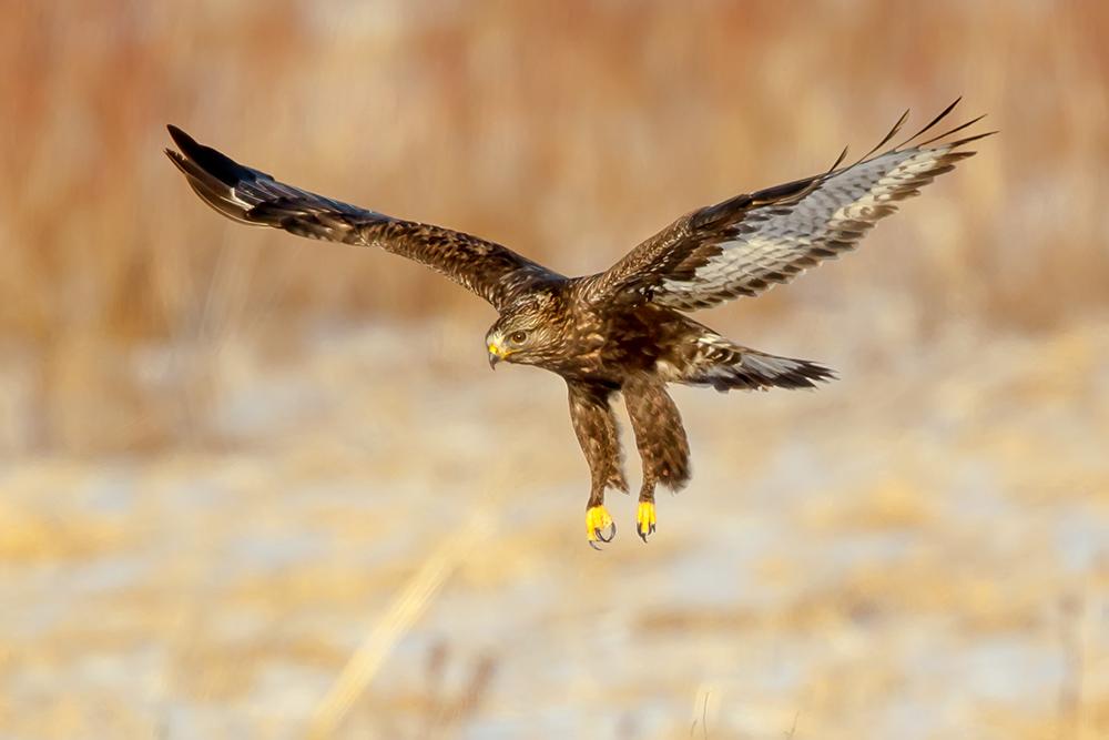 Rough Legged Hawk Swoops In
