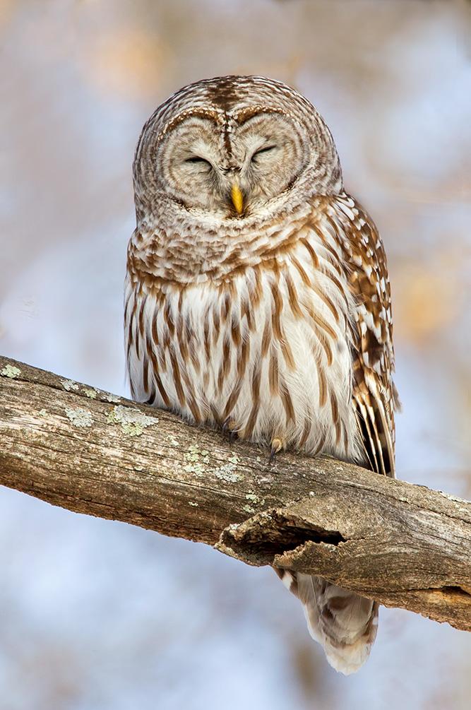 barred owl snoozing web