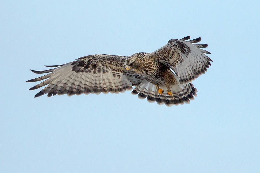 rough legged hawk hovers web