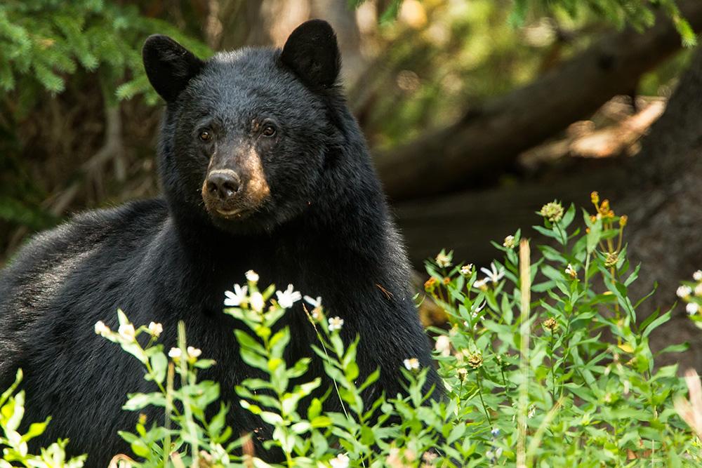 mt washburn black bear web
