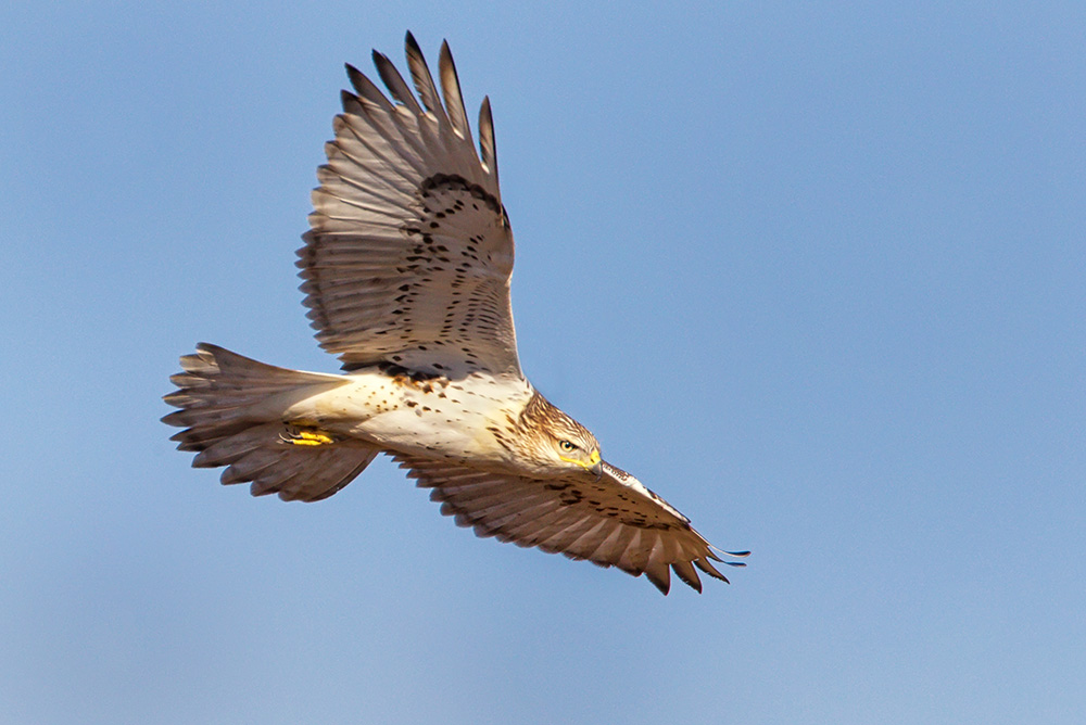 Redtail Hawk at Bear Tooth Pass