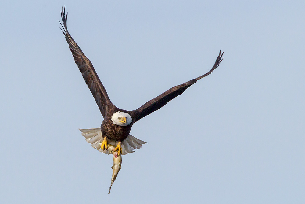 Bald Eagle and Pike 2