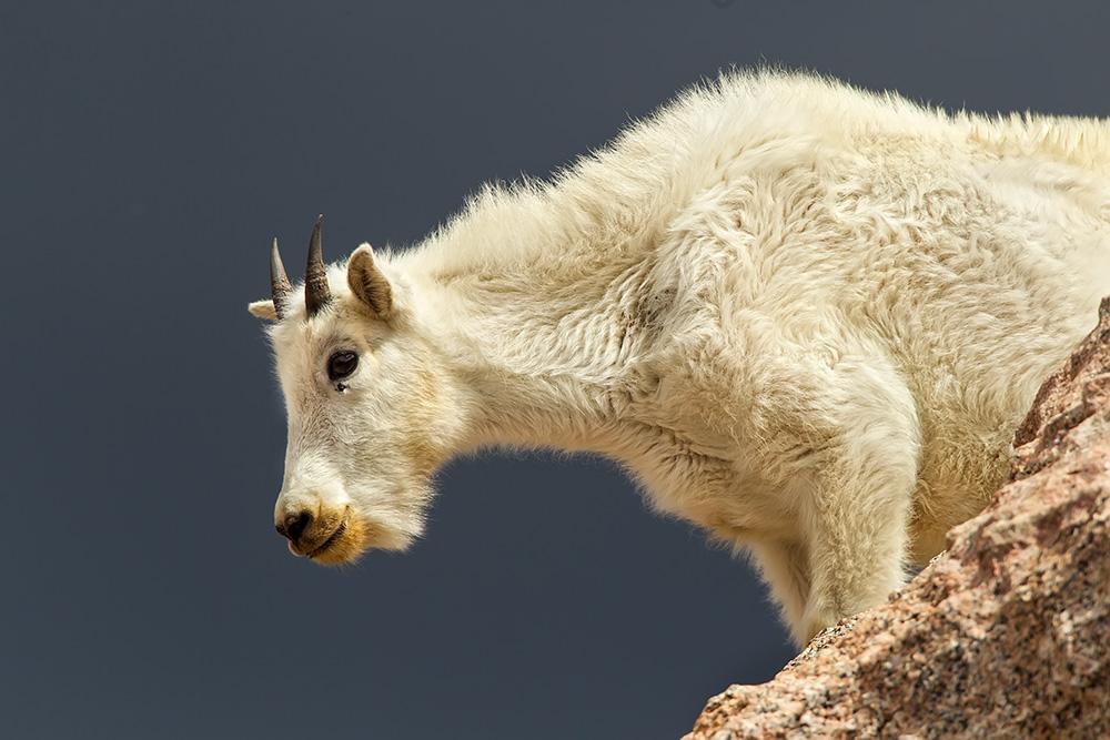mountain goat on cliff web